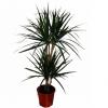 Dracena marginata planta interior