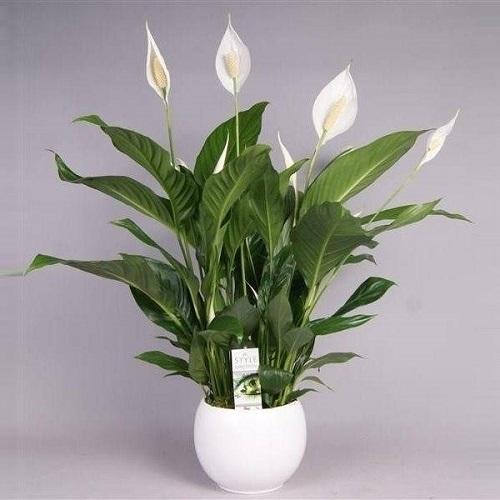 Spathiphyllum planta