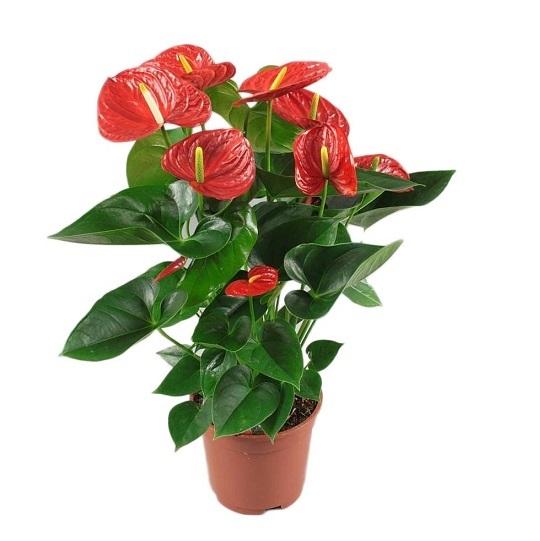 anturium planta
