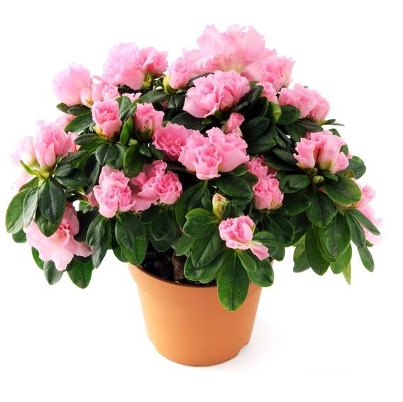 azalea planta
