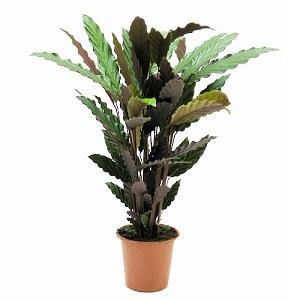 Planta de Calathea