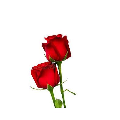 dos rosas rojas regalo