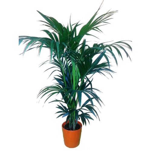 Palmera kentya planta de interior