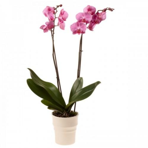 orquidea con flores lilas
