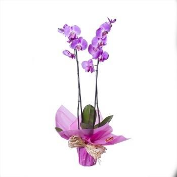 orquidea flores lilas regalo