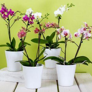 Orquidea Rosa con tiesto