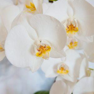 Orquidea Blanca con tiesto
