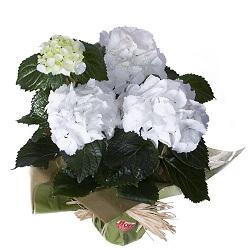 Hortensia con flores blancas
