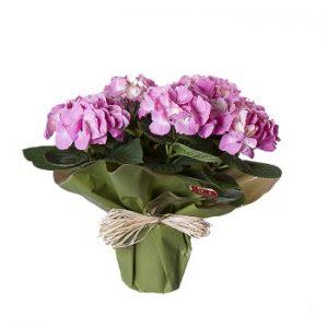 Hortensia con flores rosas