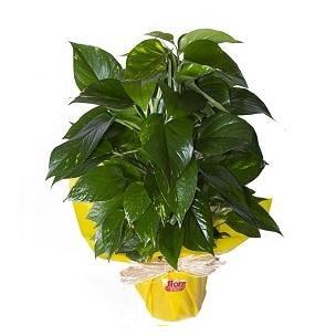 pothos con tutor planta interior