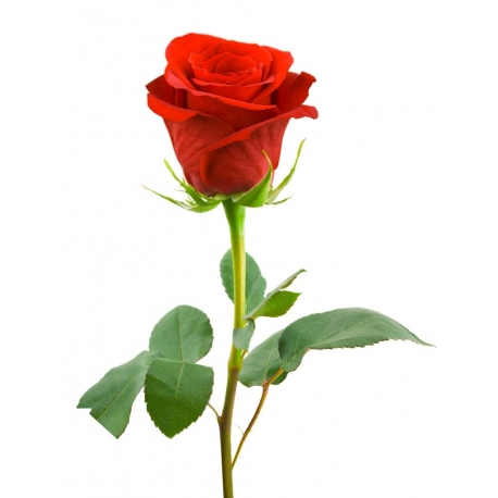Una rosa roja de regalo