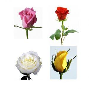 1 Rosa de color