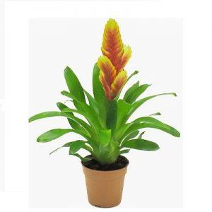 Planta de Vriesia