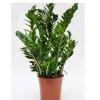 zamioculcas planta interior