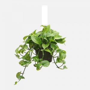 Planta colgante Pothos